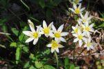 Ozarks Spring Wildflowers: False Garlic