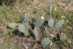 Ozarks Cool Plants: Prickly Pear Cactus