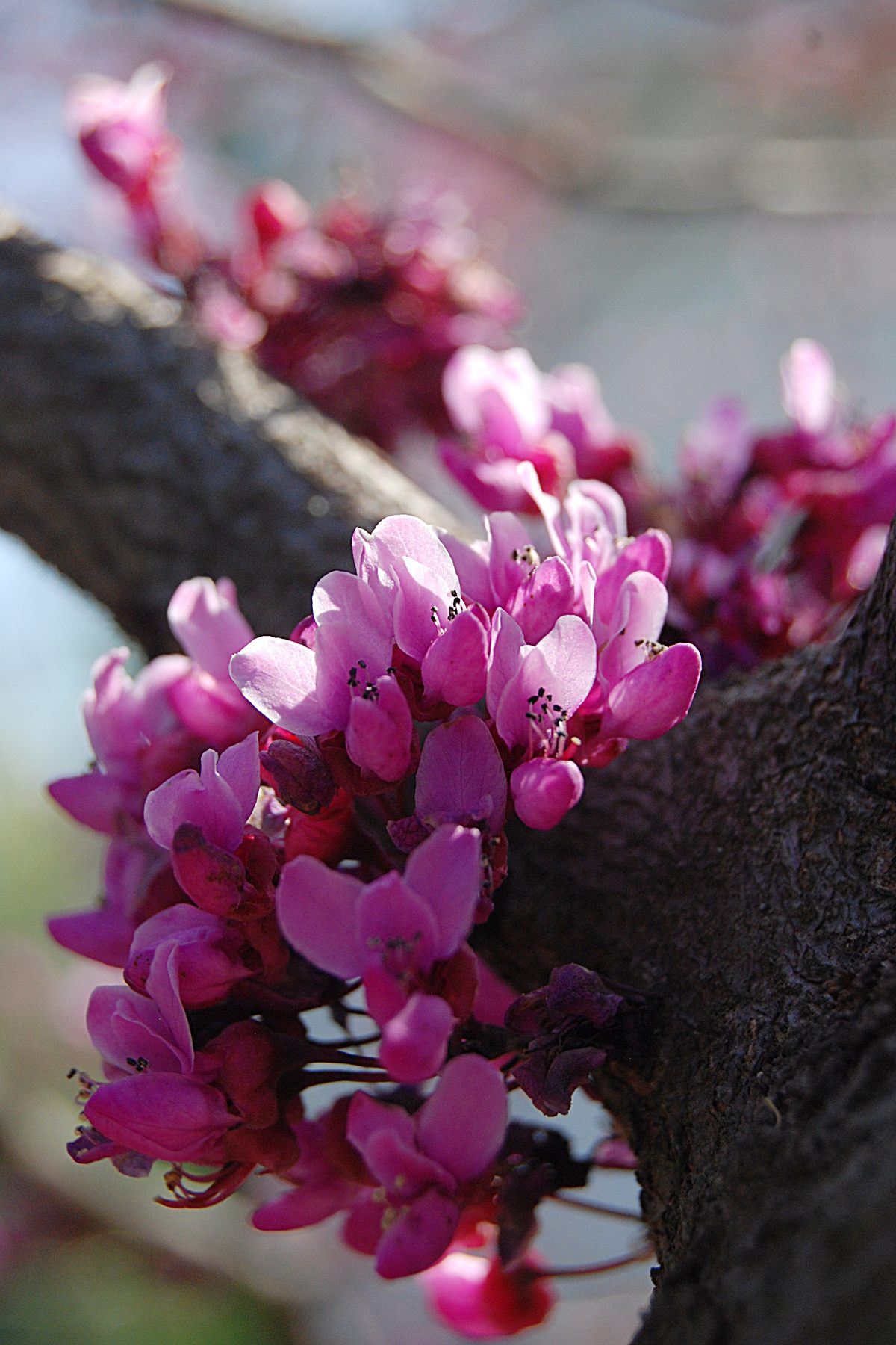 Ozarks Flowering Tree: American Redbud