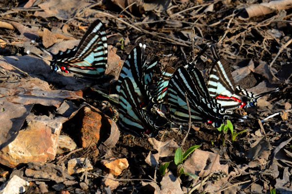 Zebra swallowtail butterflies puddling on the shore of Table Rock Lake at Piney Creek Wilderness.